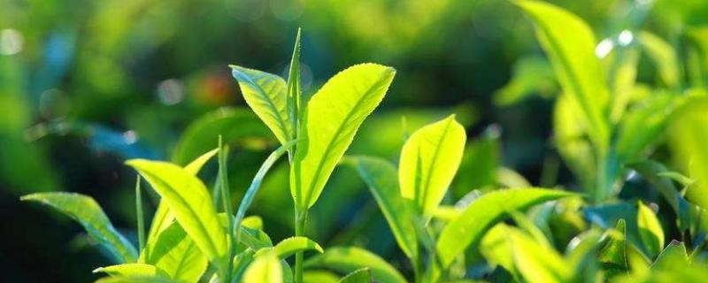 哪些属于绿茶