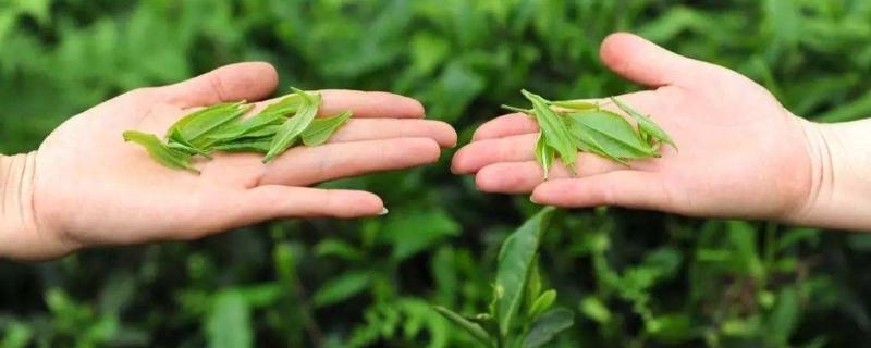 都江堰有什么好茶叶