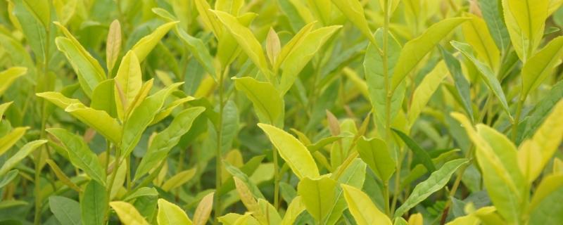 黄金叶茶叶属于什么茶系